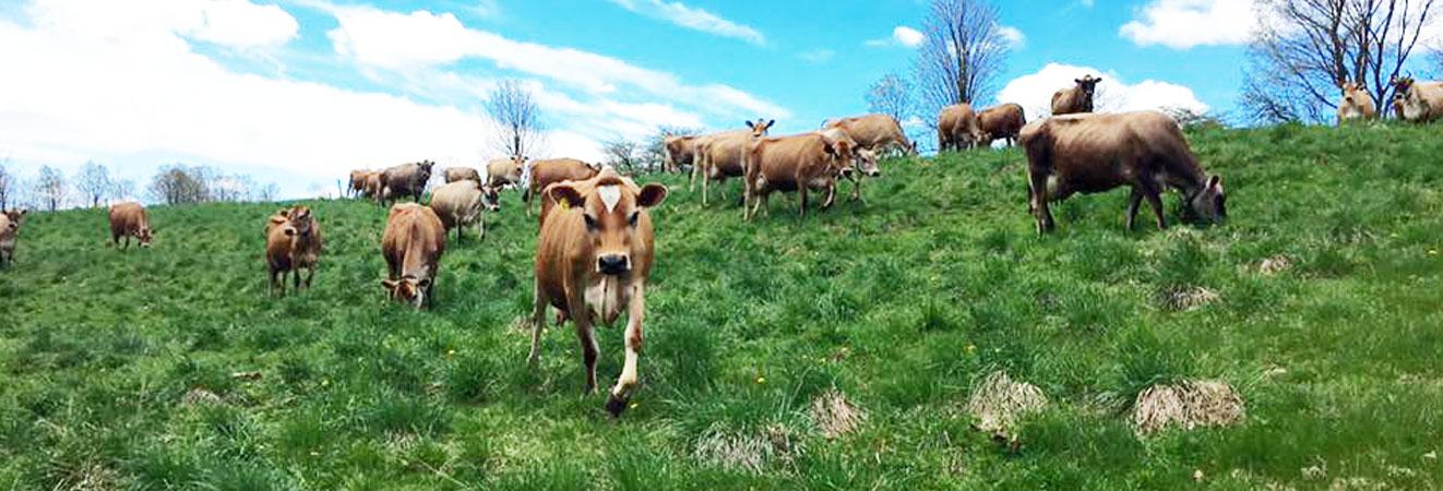 Happy Vermont Grassfed Cows